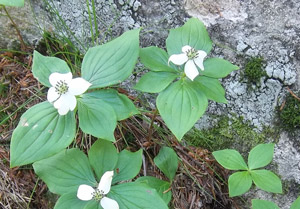 mountain dogwood
